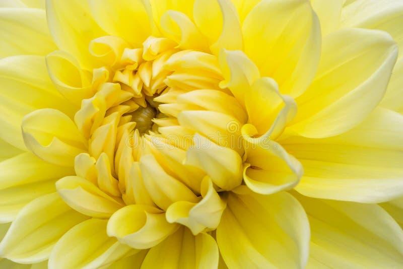 Zakończenie żółta dalia w kwiacie fotografia stock