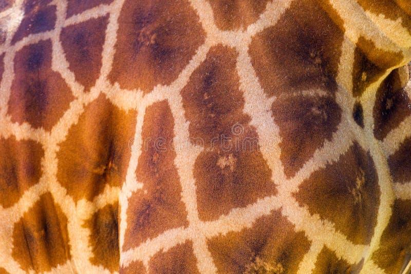Zakończenie żyrafa up deseniował skórę na 3rd 2018 Kwietniu obraz stock