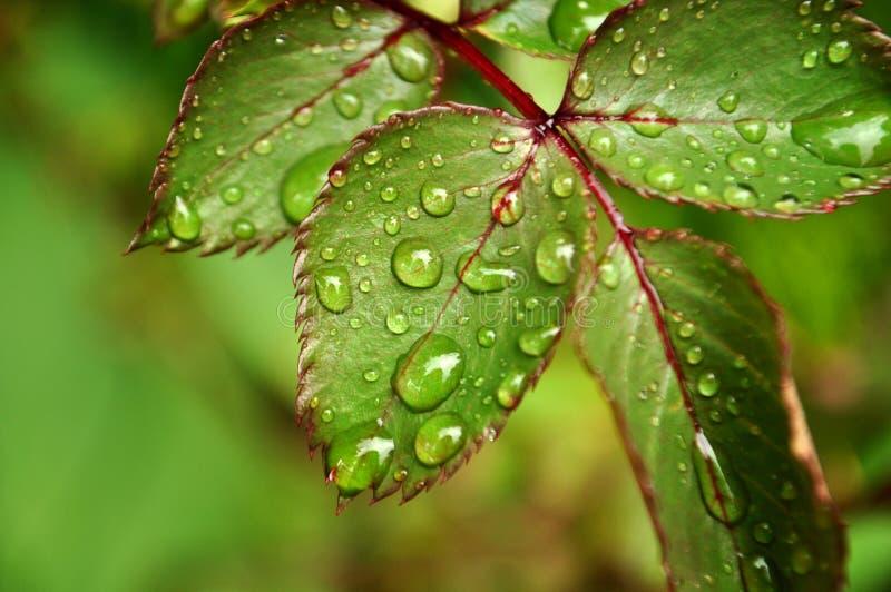 Zakończenie żywej zieleni róży liść z podeszczową wodą up opuszcza z kopii przestrzenią obrazy royalty free