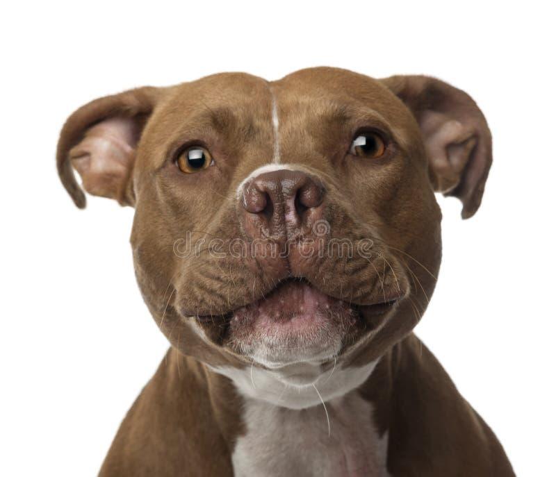 Zakończenie Amerykański Staffordshire Terrier obraz royalty free