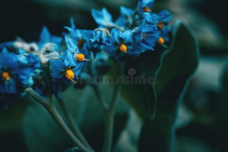 Zakończenie błękit i żółci kwiaty Solanum giganteum obraz royalty free