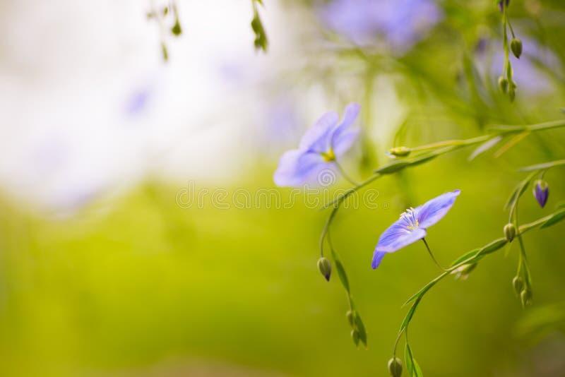 Zakończenie błękitny len kwitnie plenerowego w ogródzie na słonecznym dniu fotografia stock