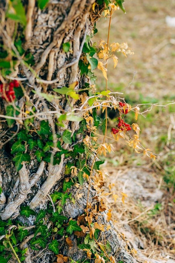 Zakończenie bagażnik drzewo oliwki Oliwni gaje i Gard obrazy royalty free