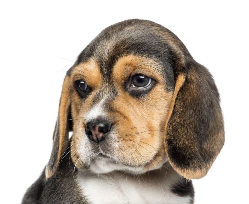 Zakończenie Beagle szczeniak patrzeje daleko od, odizolowywający obrazy royalty free