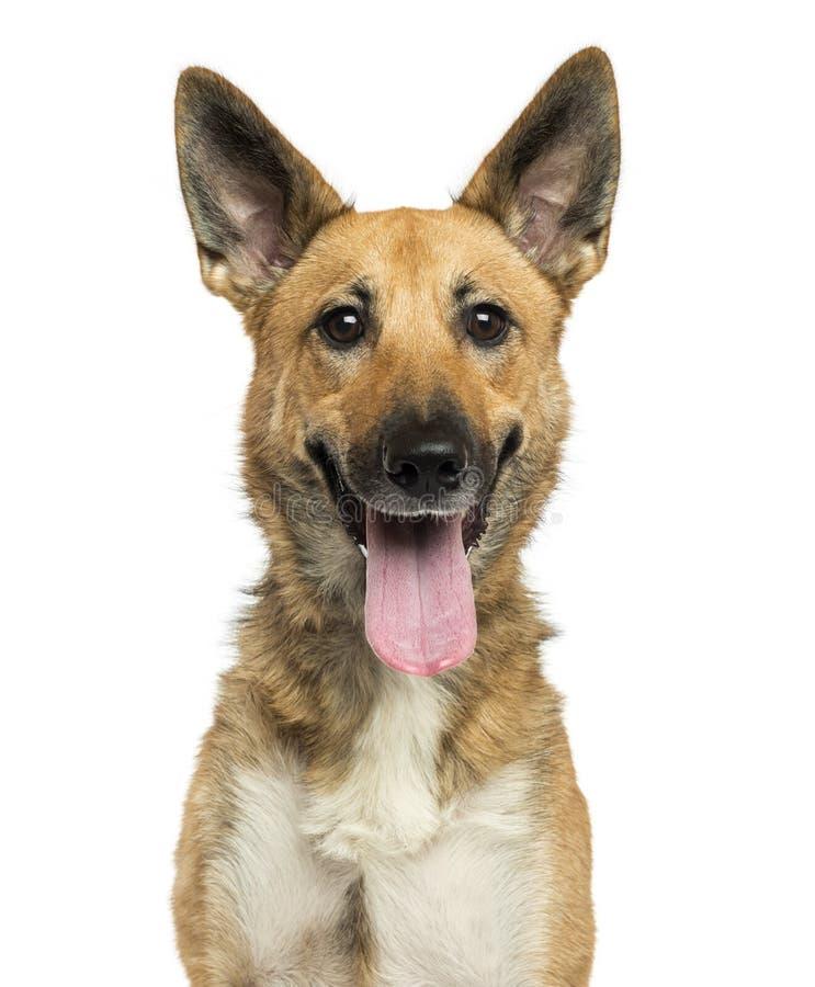 Zakończenie Belgijski pasterski pies dyszy, patrzeje kamerę obrazy royalty free