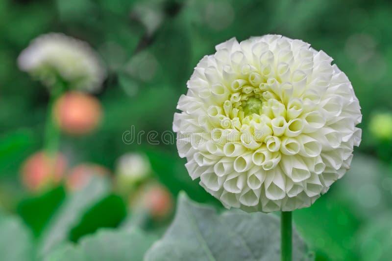 Zakończenie biała dalia w kwiacie zdjęcie stock