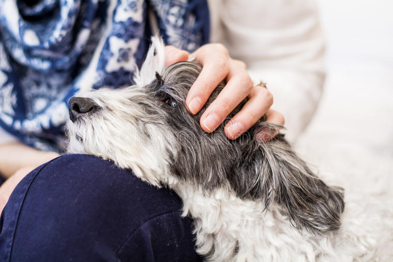 Zakończenie biały pies w kobiety uściśnięciach obraz royalty free