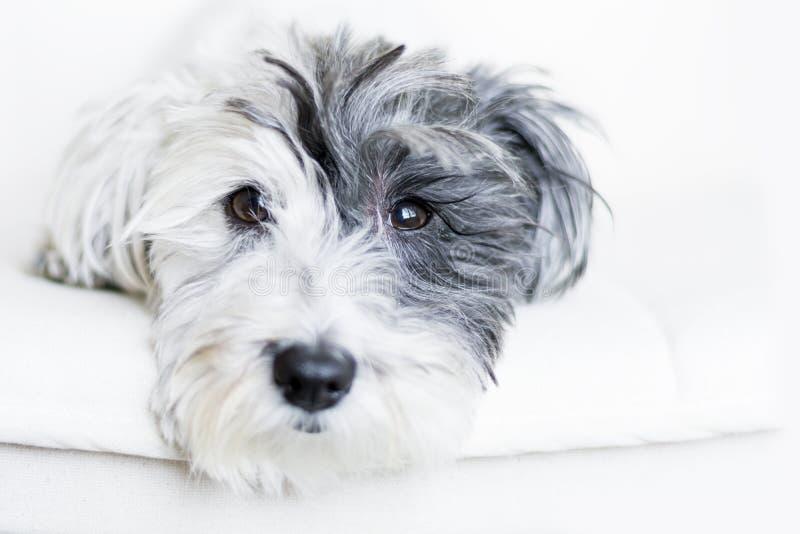Zakończenie biały pies z czarnym ucho obraz royalty free