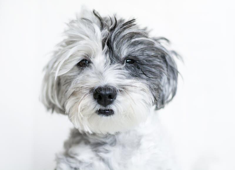 Zakończenie biały pies z czarnym ucho zdjęcie royalty free