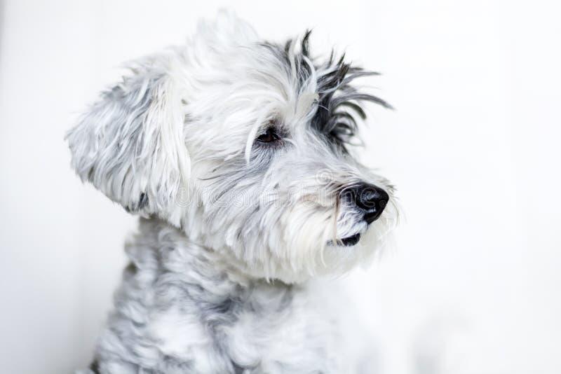 Zakończenie biały pies z czarnym ucho fotografia royalty free