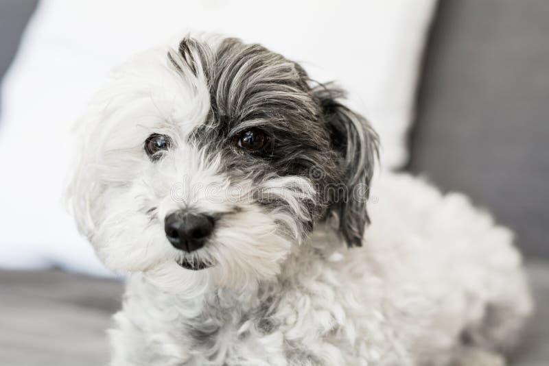 Zakończenie biały pies z czarnym ucho zdjęcia royalty free