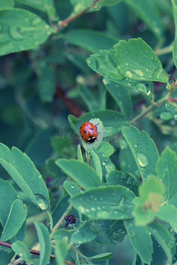Zakończenie biedronka na zielonym liściu w trawie fotografia royalty free