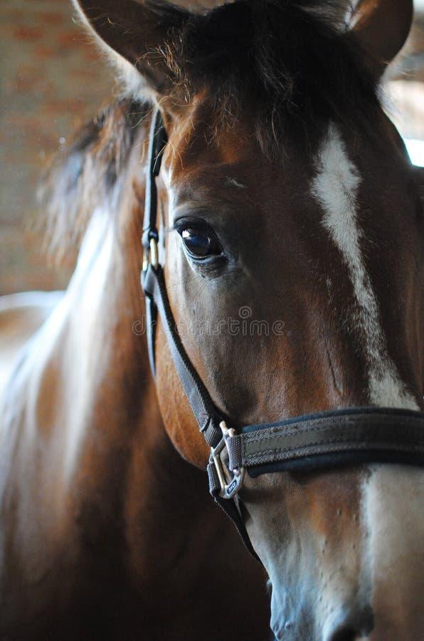 Zakończenie brown koń, zakończenie Ciężki koń, spojrzenia przy kamerą, stoi przed tłem obrazy royalty free