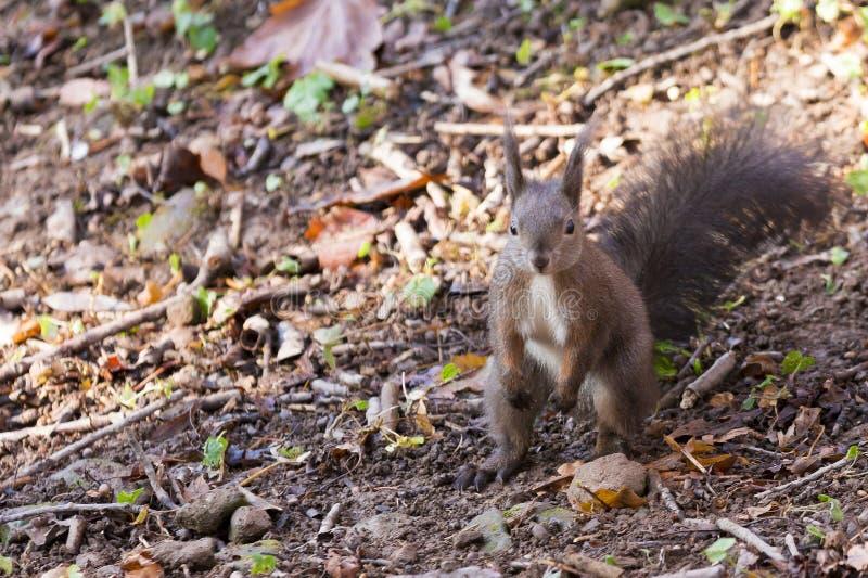 Zakończenie brown wiewiórka zdjęcia stock