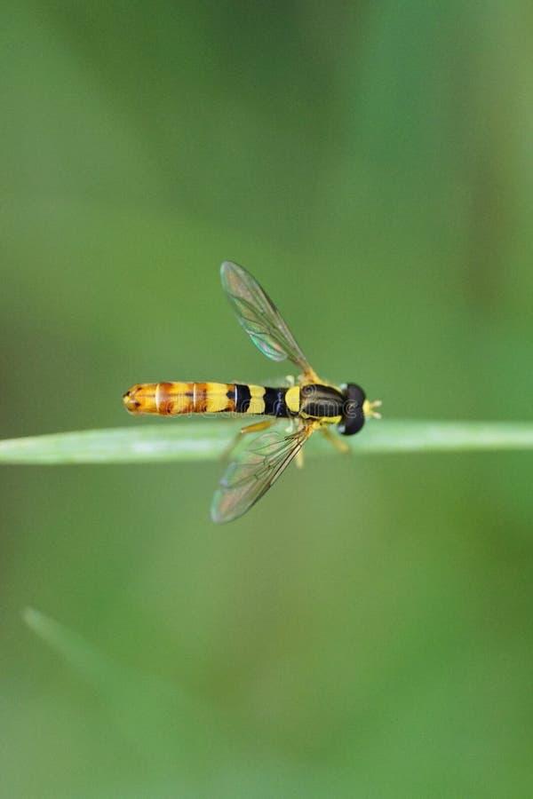 Zakończenie caucasian hoverfly kwiatu komarnica genus Sphaero zdjęcie royalty free