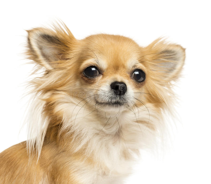 Zakończenie chihuahua patrzeje kamerę zdjęcie royalty free