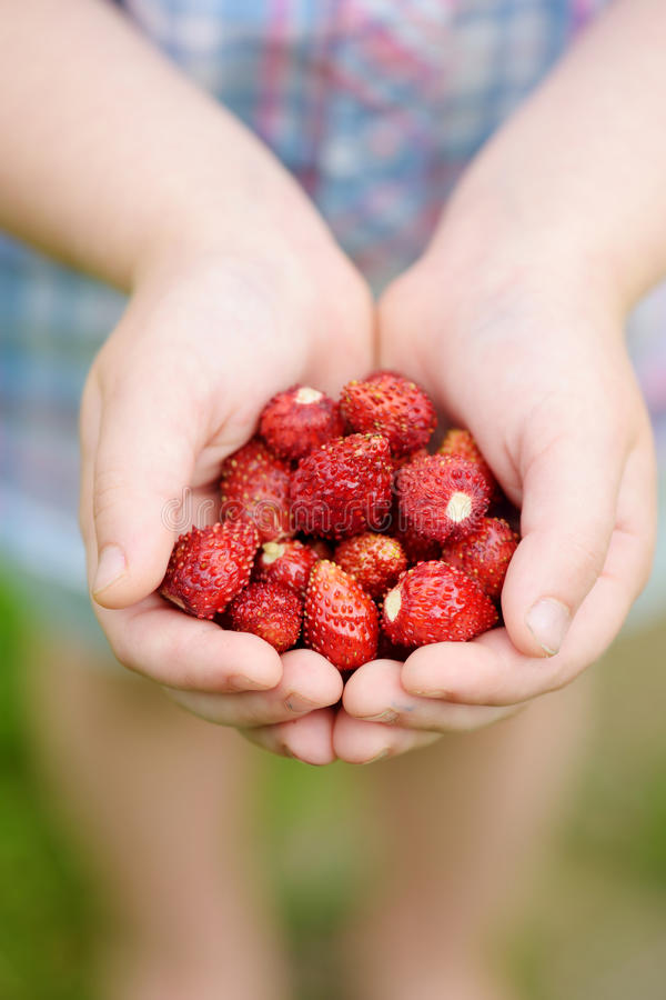Zakończenie childs wręcza trzymać świeże dzikie truskawki podnosi przy organicznie gospodarstwem rolnym obraz royalty free