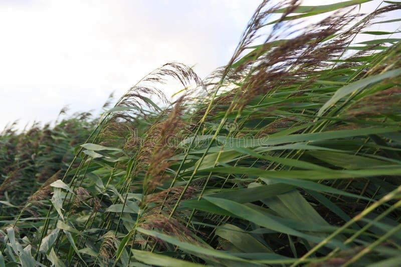 Zakończenie chylenie zieleni płocha w ciężkim burzowym wiatrze fotografia stock