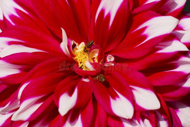 Zakończenie cynie kwitnie z pszczołami zdjęcia royalty free