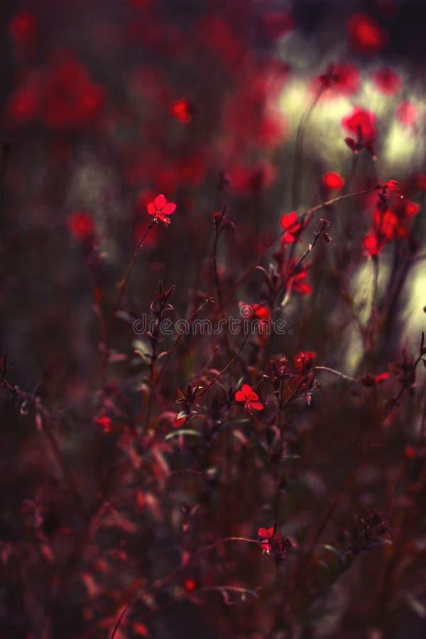 Zakończenie czerwień up kwitnie kwitnienie w ogródzie obraz stock
