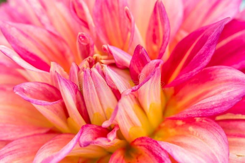 Zakończenie czerwona dalia w kwiacie w ogródzie obrazy stock