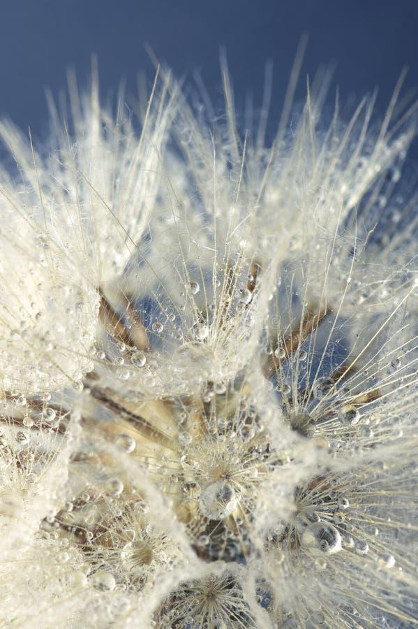Zakończenie dandelion z kroplami zdjęcia royalty free
