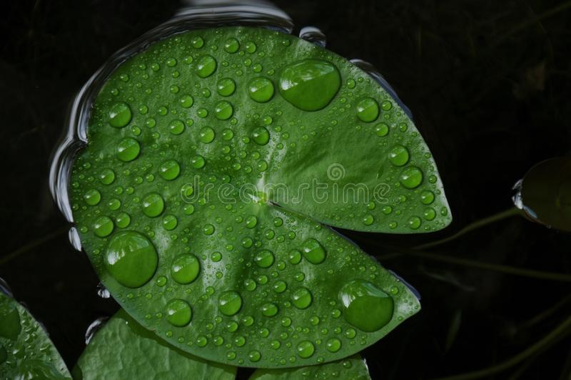 Zakończenie deszcz opuszcza na zielonym liściu fotografia stock