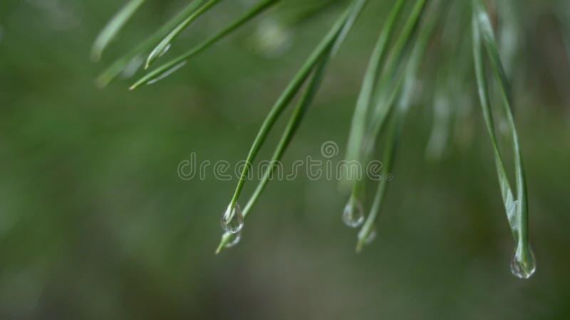 Zakończenie deszcz up opuszcza na zielonych sosnowych igłach z świeżym zielonym copyspace Abstrakcjonistyczny tło od conifer wiec obrazy stock