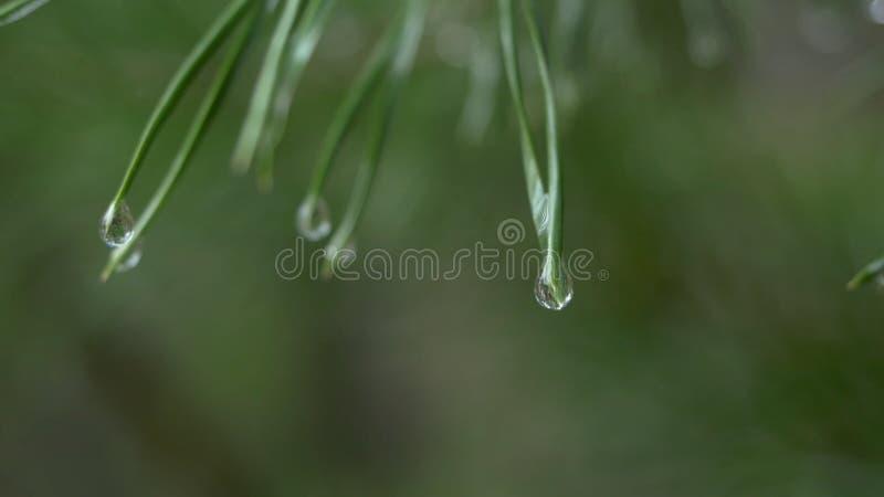 Zakończenie deszcz up opuszcza na zielonych sosnowych igłach z świeżym zielonym copyspace Abstrakcjonistyczny tło od conifer wiec zdjęcie royalty free