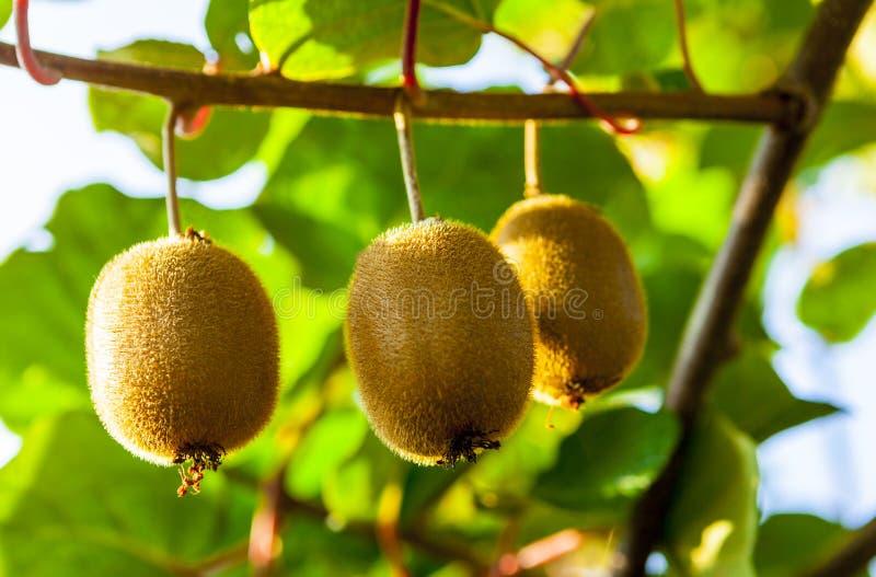 Zakończenie dojrzała kiwi owoc na krzakach Włochy agritourism zdjęcia royalty free