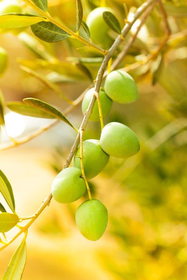 Zakończenie dojrzałe zielone oliwki zdjęcia royalty free
