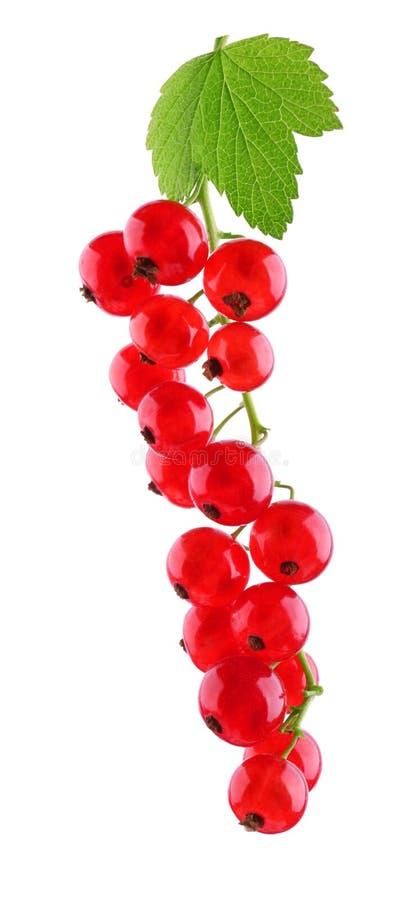 Zakończenie dojrzały czerwony rodzynek, odizolowywający na białym tle Wiązka czerwone jagody i zieleń liście jagody zdrowe obrazy royalty free