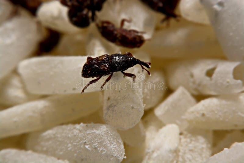 Zakończenie dorosły ryżowych zwijaczy Sitophilus oryzae na ryż up groszkuje obrazy stock