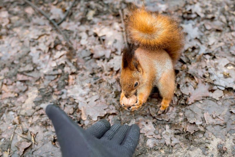 Zakończenie dorosli up wręcza żywieniowej wiewiórki w lesie zdjęcie stock