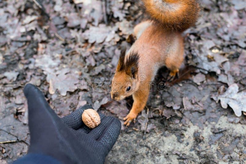 Zakończenie dorosli up wręcza żywieniowej wiewiórki w lesie obraz stock
