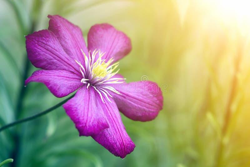 Zakończenie duże piękne jaskrawe purpury w pełni kwitnie kwiatu zaświecał słońcem na zamazanym zielonym lata tle Piękno i czułość zdjęcie stock