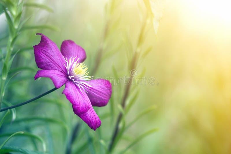 Zakończenie duże piękne jaskrawe purpury w pełni kwitnie kwiatu zaświecał słońcem na zamazanym zielonym lata tle Piękno i czułość fotografia stock