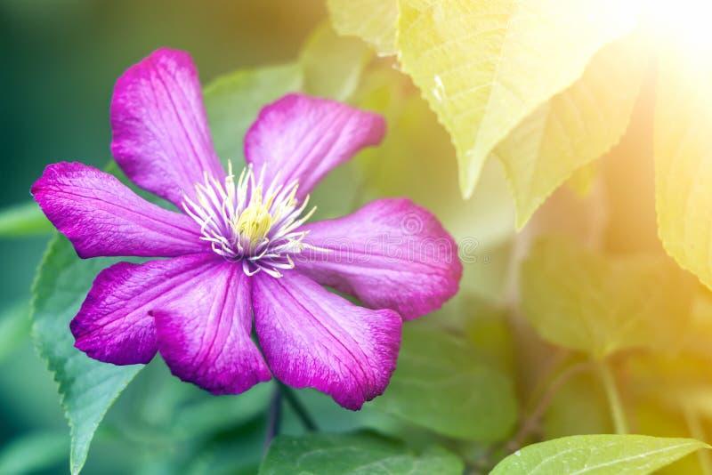 Zakończenie duże piękne jaskrawe purpury w pełni kwitnie kwiatu zaświecał słońcem na zamazanym zielonym lata tle Piękno i czułość obraz royalty free