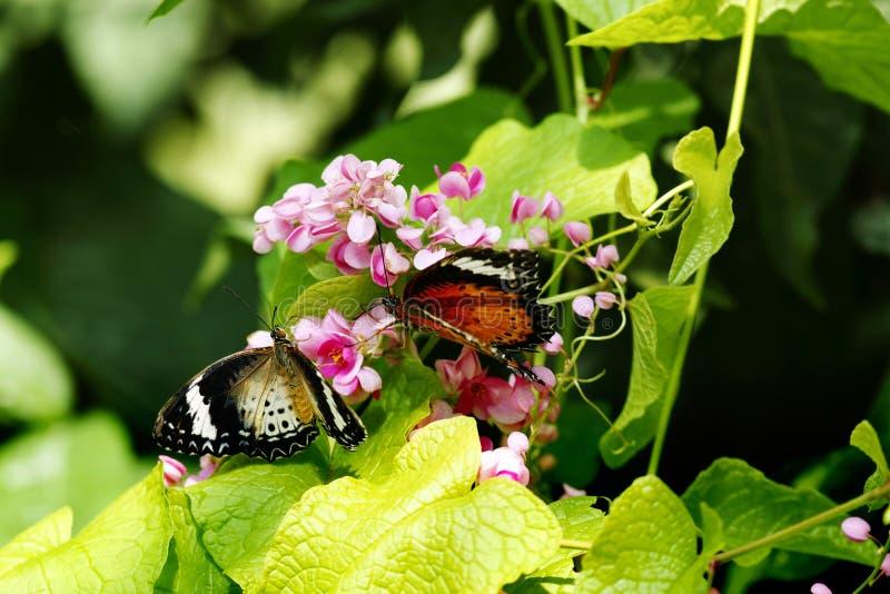Zakończenie dwa motyla jeden pomarańczowy czarny i żółty jeden biel barwił obsiadanie na różowym kwiacie oba fotografia stock