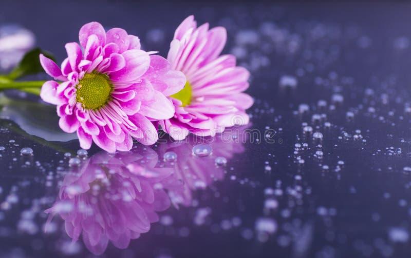 Zakończenie dwa purpurowej chryzantemy z wodą opuszcza na glansowanym su obrazy stock