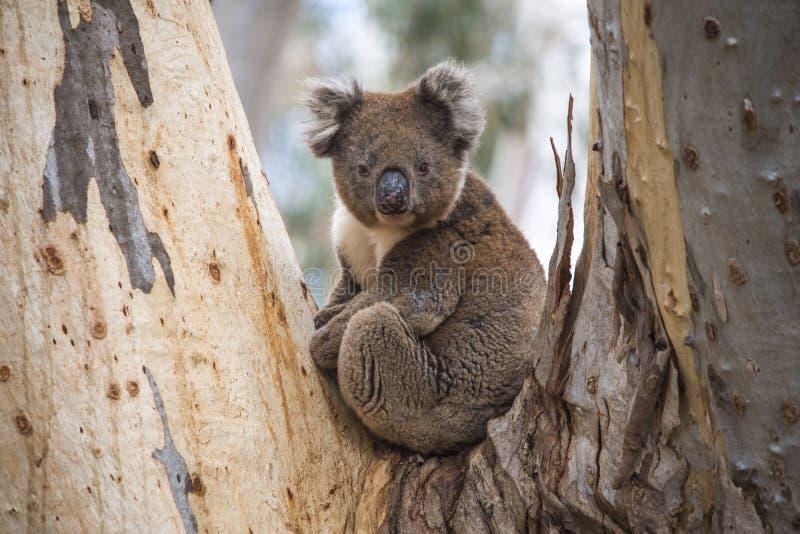 Zakończenie Dzika koala w eukaliptusowych lasach kangur wyspa, Południowy Australia fotografia royalty free
