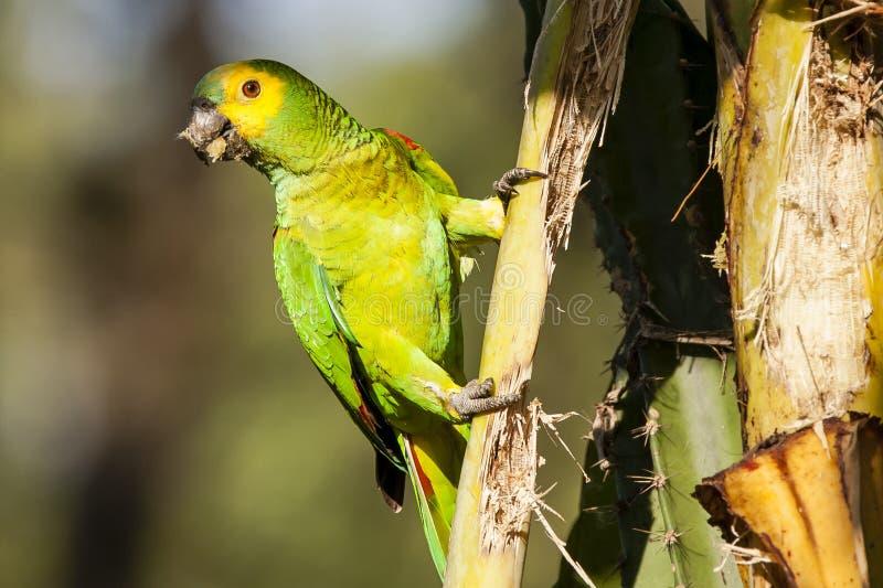 Zakończenie Dzika turkus amazonki Stać na czele papuga na Palmowym trzonie (Błękitna) zdjęcia royalty free