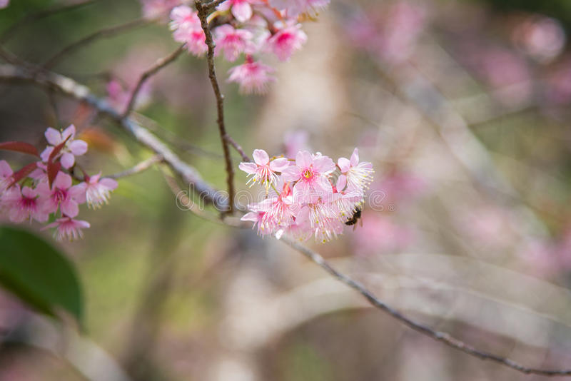 Zakończenie Dziki Himalajski czereśniowy kwitnienie (Prunus cerasoides) obrazy royalty free
