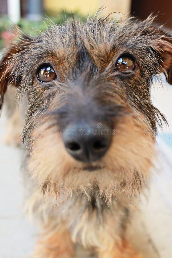 Zakończenie fotografia mały pies, hoduje Wirehaired jamnika, wybiórka obrazy stock