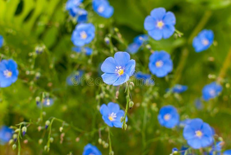 Zakończenie fotografii lna Linum dekoracyjny kwitnący długookresowy perenne fotografia royalty free