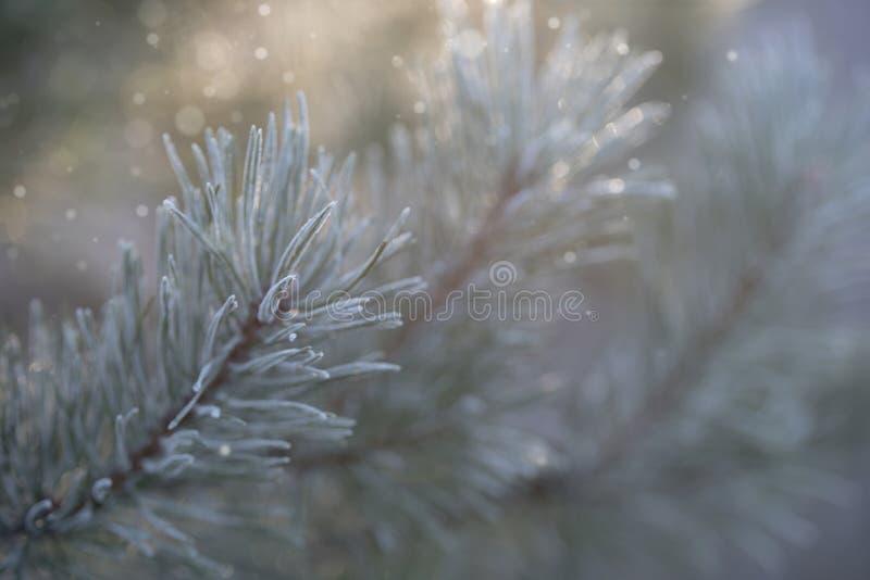 Zakończenie frosted sosny gałąź z lekkim bokeh zdjęcie royalty free
