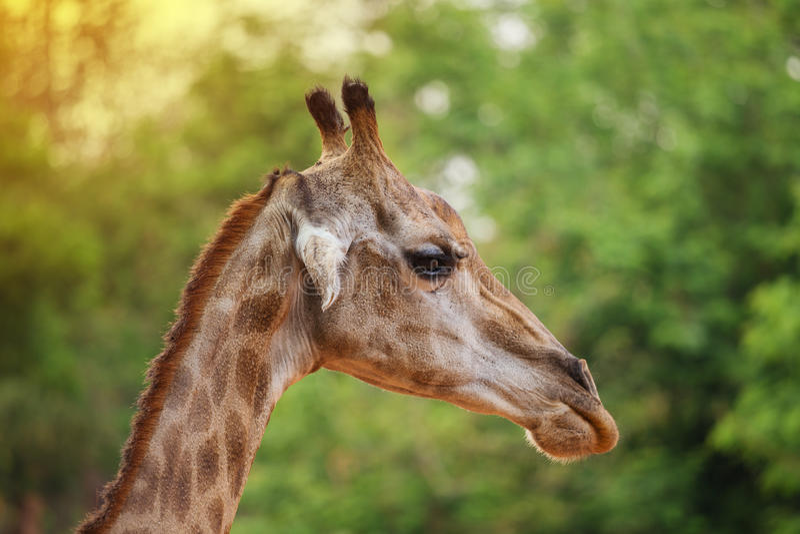 Zakończenie głowa żyrafa na natury tle obrazy royalty free