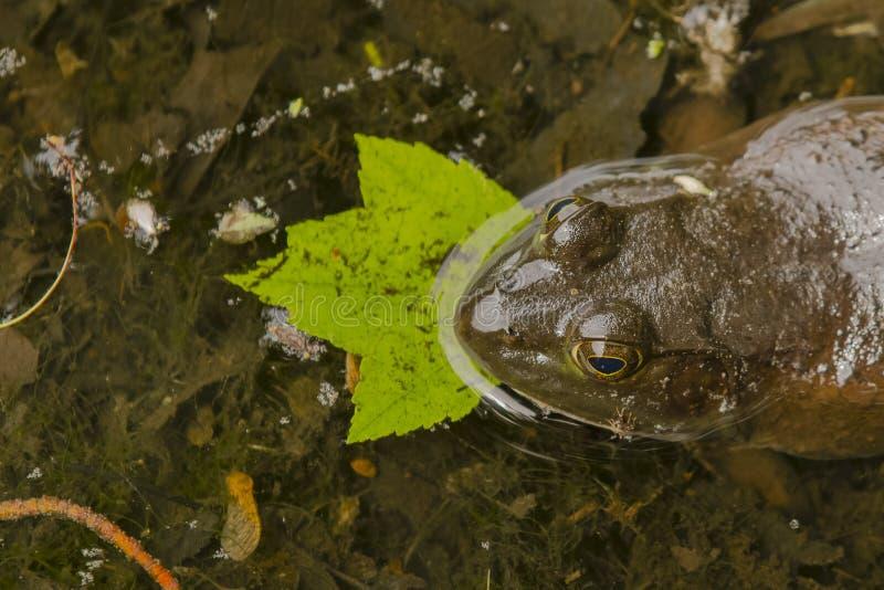 Zakończenie głowa Bullfrog obraz stock
