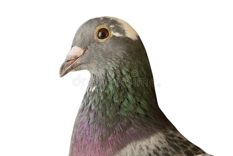Zakończenie głowy strzał piękny prędkość bieżnego gołębia ptak up odizolowywa zdjęcia royalty free