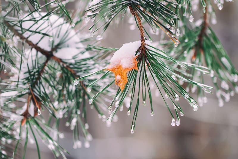 Zakończenie gałąź zakrywać z mrozem i śniegiem, lód krople Jesień żółty liść klonowy wtykający na chojaku Dla zimy obrazy stock